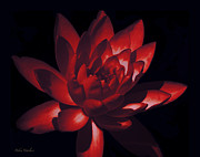 Radiant Flower Prints - Ruby Of The Night Print by Debra     Vatalaro