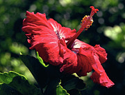 Gilded Prints - Ruby Red Hibiscus Print by Kevin Smith