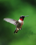 Trochilid Posters - Ruby Red Throated Hummingbird Poster by Jai Johnson