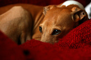 Greyhound Photos - Ruby Rest by Angela Rath