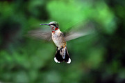 Ruby-throated Hummingbird Photos - Ruby by Skip Willits