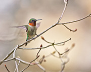 Bird Photographs Metal Prints - Ruby Throated Hummer Metal Print by Rob Travis