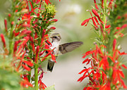 Ruby-throated Hummingbird Photos - Ruby-throated Hummingbird And Cardinal Flower by Robert E Alter Reflections of Infinity