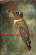 Tiny Bird Prints - Ruby Throated Hummingbird Print by Bonnie Barry