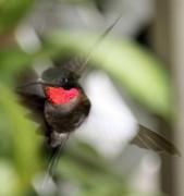 Diane Merkle - Ruby Throated Hummingbird
