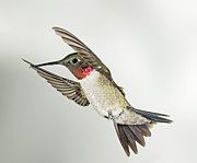 Flight Art - Ruby Throated Hummingbird by Gregory Scott