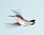Ruby-throated Hummingbird Posters - Ruby-throated Hummingbird In Flight Poster by Jim McKinley
