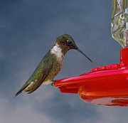 Michael D  Friedman Prints - Ruby-Throated Hummingbird Print by Michael Friedman