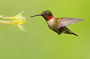 Nectar Metal Prints - Ruby-Throated Hummingbird Metal Print by Mircea Costina Photography