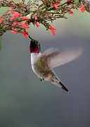 Florida Wildlife Posters - Ruby Throated Hummingbird Poster by Sabrina L Ryan