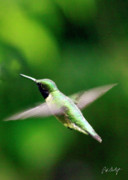 Hummingbird Prints Prints - Ruby-Throated Print by Phill  Doherty