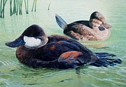 Ducks Paintings - Ruddy Ducks by Don Evans