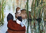 Rudy Prints - Ruddy Ducks Print by Elaine Booth-Kallweit