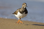 Arenaria Interpres Posters - Ruddy Turnstone Arenaria Interpres Poster by Do Van Dijck