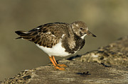 Arenaria Interpres Posters - Ruddy Turnstone Arenaria Interpres Poster by Jan Sleurink