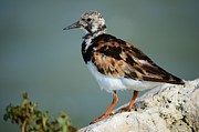 Lynda Dawson-youngclaus Photo Metal Prints - Ruddy Turnstone Metal Print by Lynda Dawson-Youngclaus