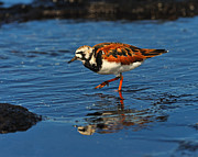 Sandpiper Acrylic Prints - Ruddy Turnstone Acrylic Print by Tony Beck