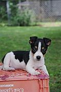 Rebecca Poole - Rudy the Rat Terrier