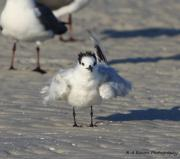 Tern Originals - Ruffled Feathers by Barbara Bowen