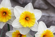 Ruffled Petals Posters - Ruffly White And Yellow Dafodils Poster by Tracie Kaska