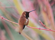 Little Bird Posters - Rufous Hummingbird 3 Poster by Angie Vogel