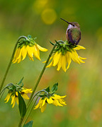 Feeds Prints - Rufous Hummingbird Print by Crystal Garner