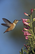 Feeding Birds Prints - Rufous Hummingbird Feeding On Flowers Print by Tim Fitzharris