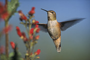 Feeding Birds Prints - Rufous Hummingbird Feeding Print by Tim Fitzharris