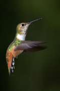 Rufous Hummingbird Posters - Rufous Hummingbird in Flight Poster by Randall Ingalls