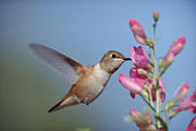 Feeding Birds Prints - Rufous Hummingbird Juvenile Feeding Print by Tim Fitzharris