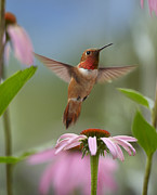 Feeding Birds Prints - Rufous Hummingbird Male Feeding Print by Tim Fitzharris
