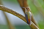 Rufous Hummingbird Posters - Rufous Hummming Bird in Detail II Poster by Laura Mountainspring
