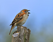 Kenya Photos - Rufous Sparrow by Tony Beck