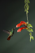 Juan Carlos Vindas Metal Prints - Rufous-tailed Hummingbird and Columnea Metal Print by Juan Carlos Vindas