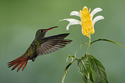 Juan Carlos Vindas Acrylic Prints - Rufous-tailed Hummingbird in flight Acrylic Print by Juan Carlos Vindas