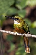 Rufous Framed Prints - Rufous-tailed Jacamar Male Framed Print by Tony Camacho