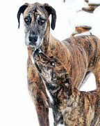 Brindle Prints - Rufus and Ava Print by Lila Fisher-Wenzel