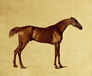 Racehorse Paintings - Rufus by George Stubbs