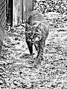 Lynx Rufus Digital Art Prints - Rufus the Bobcat Print by Pamela Iris Harden