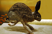National Museum Of America History Framed Prints - Run Jack Rabbit Run Framed Print by LeeAnn McLaneGoetz McLaneGoetzStudioLLCcom