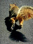 Eastern Fox Squirrel Posters - Runaway Fox Squirrel Poster by Beth Akerman