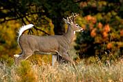 White-tail Deer Prints - Running Buck Print by Larry Ricker