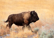 Bison Photos - Running Bull by Ann  Van Breemen