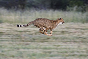 Cheetahs Prints - Running Cheetah in Namibia Print by Suzi Eszterhas