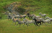 Grey Horse Photos - Running Free by Angel  Tarantella