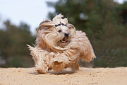 Havanese Prints - Running Havanese Dog Print by @Hans Surfer