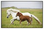 Two Animals Art - Running Horses.... by Gigja Einarsdottir