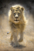Lion Framed Prints - Running Lion Framed Print by Stu  Porter