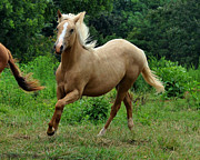 Equine Photos - Running Palomino Yearling - c0791d by Paul Lyndon Phillips