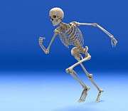 Human Skeleton Art - Running Skeleton, Artwork by Roger Harris